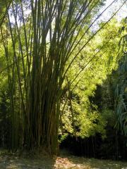 tn_094-botanical-gardens-bamboo