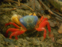 tn_146 Colorful crab