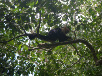 tn_152 White faced Capuchin