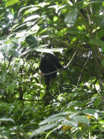 tn_158 Howler monkey