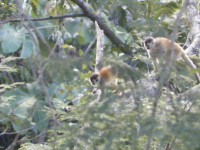 tn_167 Squirrel Monkeys