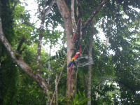 tn_172 Scarlet Macaws at Hotel Giai