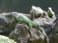 tn_197 Iguana enclosure