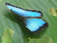 tn_204 Blue morpho