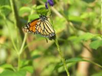 tn_208 swallowtail
