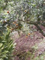 tn_240 Tangerine limes