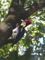 tn_253 woodpecker