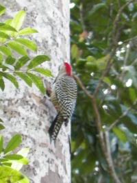 tn_449-Woodpecker
