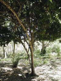 tn_469-Cinnamon-Tree