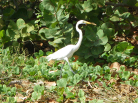 tn_661-White-heron-with-lizard