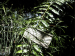 tn_84-The-living-fossil-fern-endangered-species