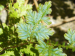 tn_86-the-blue-fern