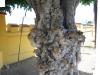 41-knarlly-old-tree_thumb