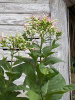 tn_40 Tobacco blossom
