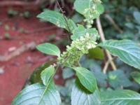 tn_55 Oregano blossom